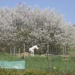 Apollo vor unbekanntem, weißem Baum